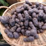 violette Kartoffel