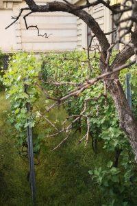 Wiener_Weinpreis_Weingarten_Bild_c_Andrea_Pickl_kekinwien