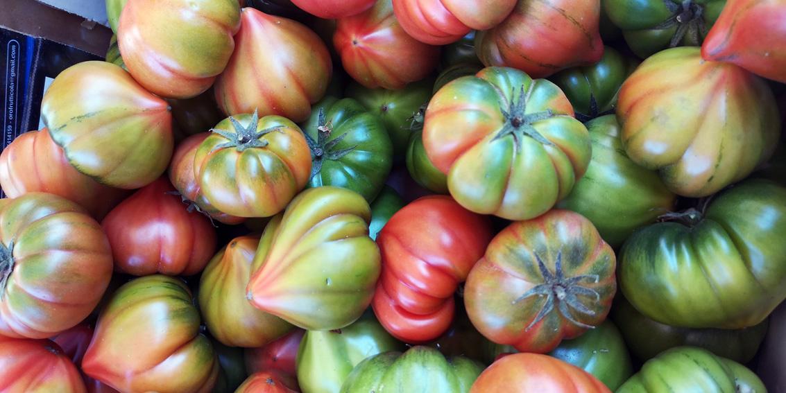 Tomaten der Sorte Miranda, Blick (c) Mischa Reska - kekinwien.at