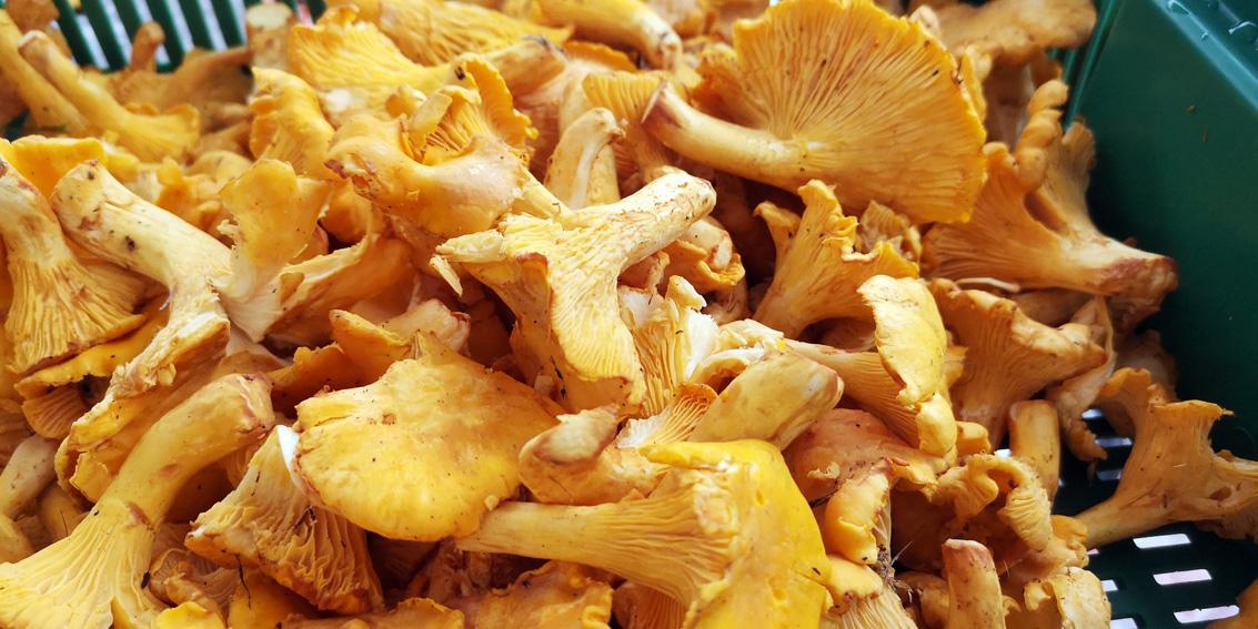 ein goldgelber Schatz in Schwammerlgestalt, Bild (c) Mischa Reska - kekinwien.at