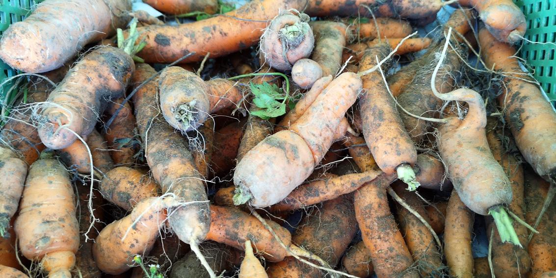 Karotten, auf dem Markt im Herbst, alles bio, Bild (c) Mischa Reska - kekinwien.at