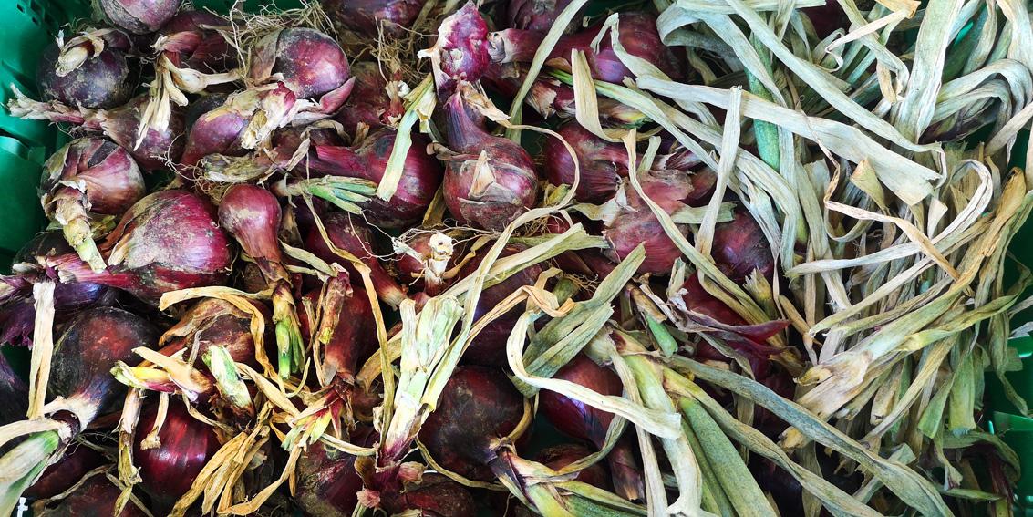 Zwiebel. im Herbst auf dem Markt, besser bio, Bild (c) Mischa Reska - kekinwien.at