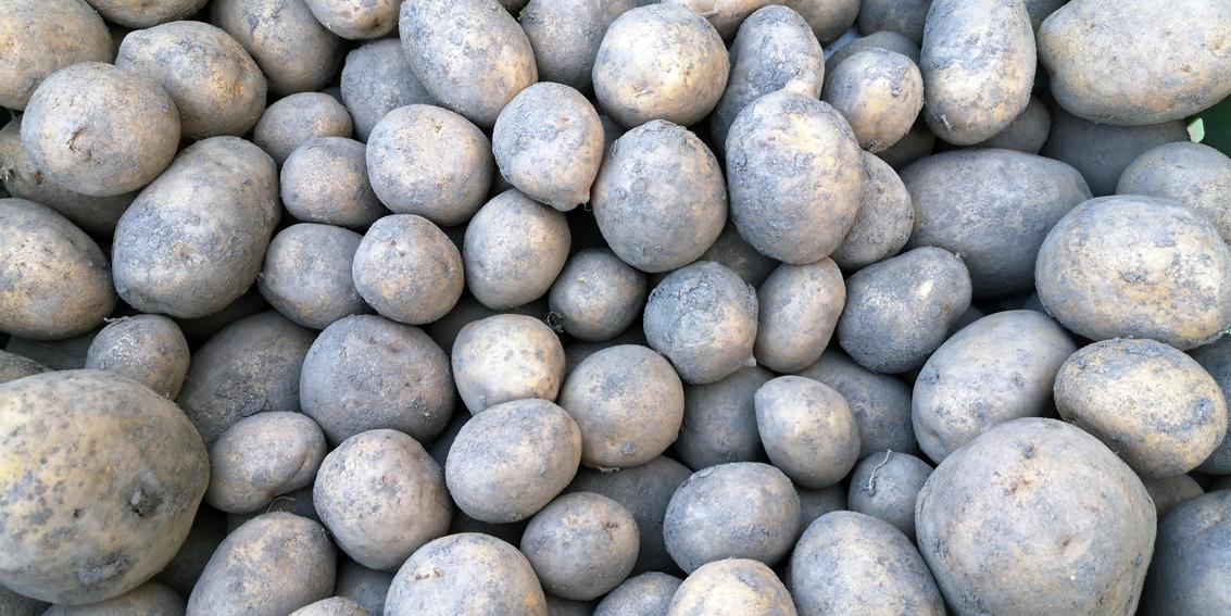 Kartoffel, Kartoffel, die tolle Knolle, Bild (c) Mischa Reska - kekinwien.at