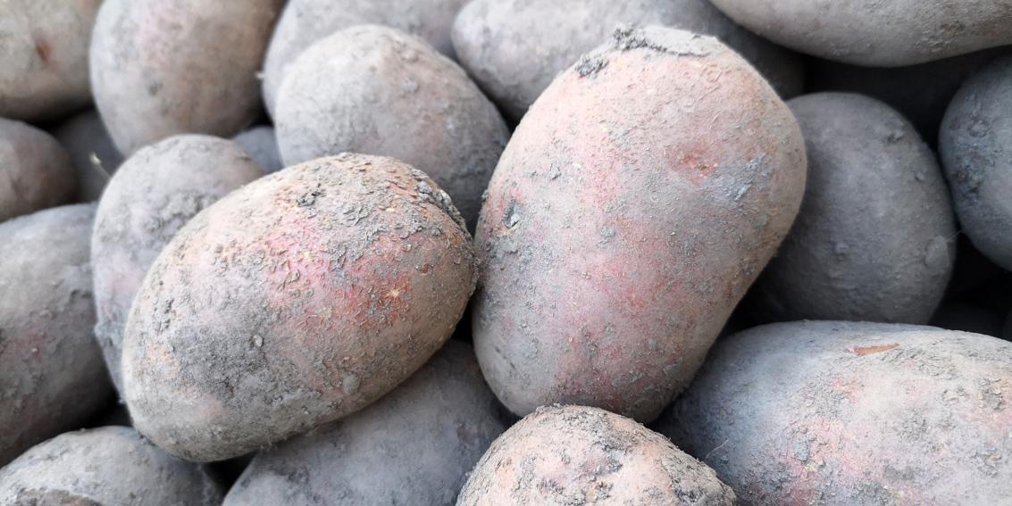 Kartoffeln im Vorfrühling, Bild (c) Mischa Reska - kekinwien.at